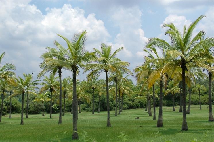 La plantation de cocotiers à Sambava